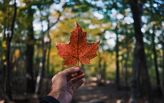 Обои Красный кленовый лист, рука, лес, размытый фон