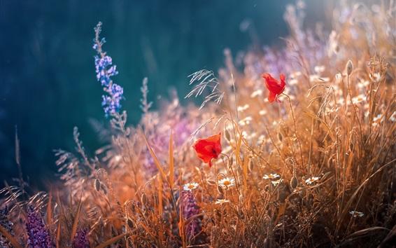 Papéis de Parede Papoilas vermelhas, flores, capim, verão