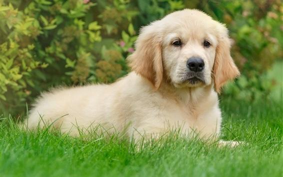 Papéis de Parede Retriever, cachorrinho fofo, grama