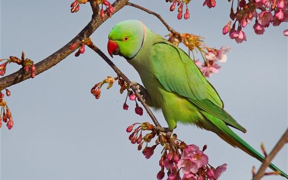 Wallpaper Sakura flowering, branches, green parrot