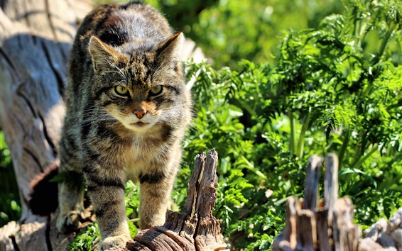 Papéis de Parede Scottish Wildcat, luz do sol