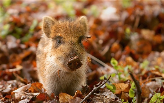 Wallpaper Small pig, leaves, autumn