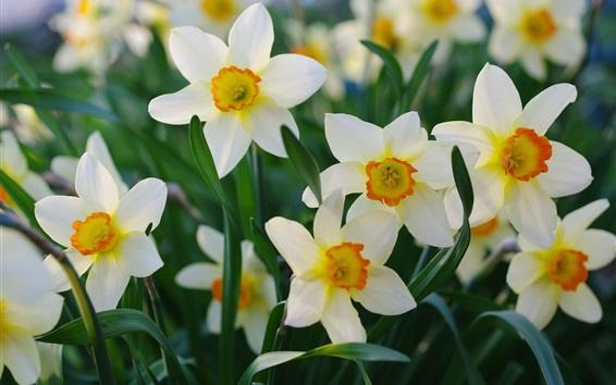 Wallpaper Spring, beautiful daffodils