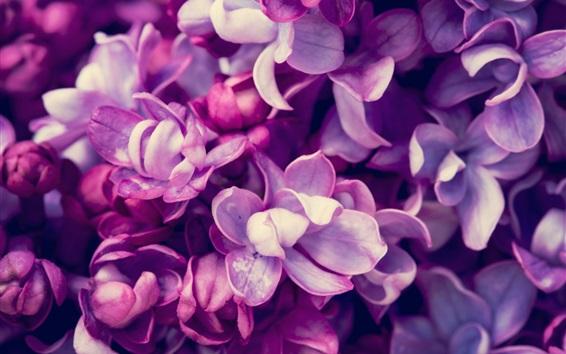 Papéis de Parede Primavera, floração lila lilás, fotografia macro
