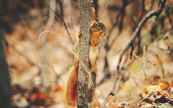 Wallpaper Squirrel climbing tree to look around