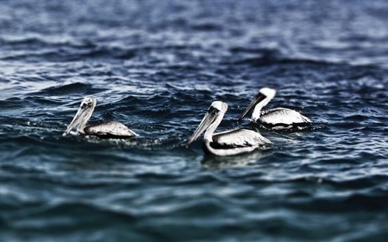 Papéis de Parede Três pelicanos nadando no mar
