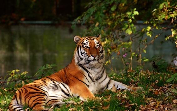 Papéis de Parede Tigre descansa no chão, folhas