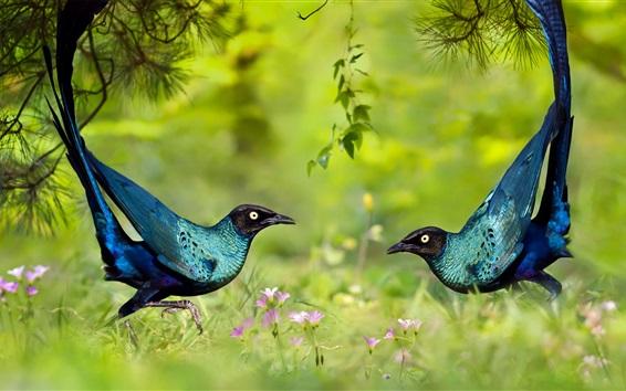 Обои Два синих перья птицы танцуют