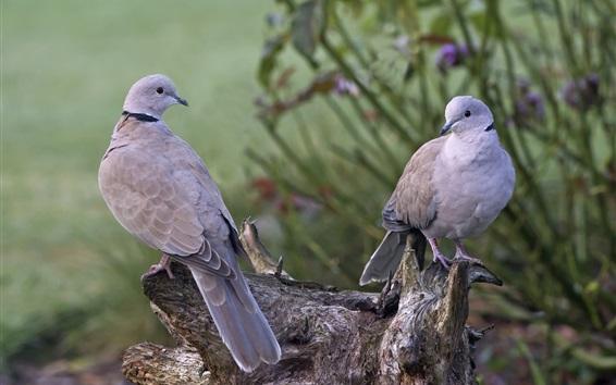 Обои Два серых голубей, птицы, пень
