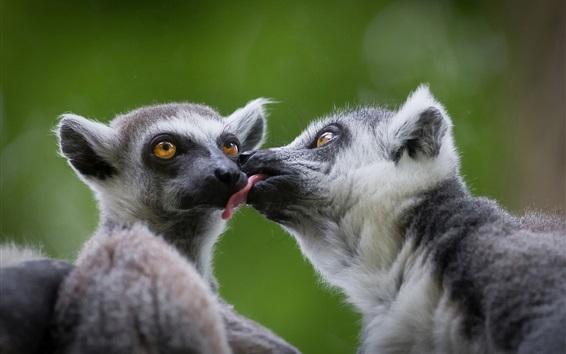 Wallpaper Two lemurs playful