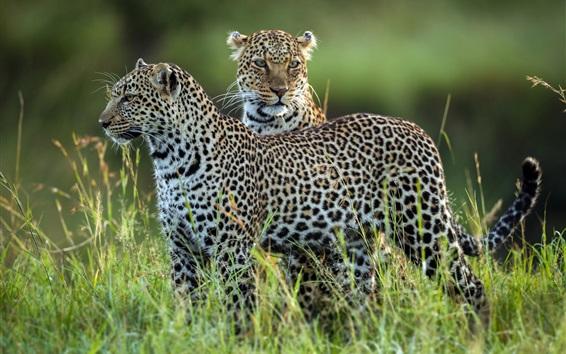 Wallpaper Two leopards, grass, wildlife
