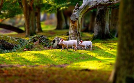 Papéis de Parede Dois porcos andam na grama