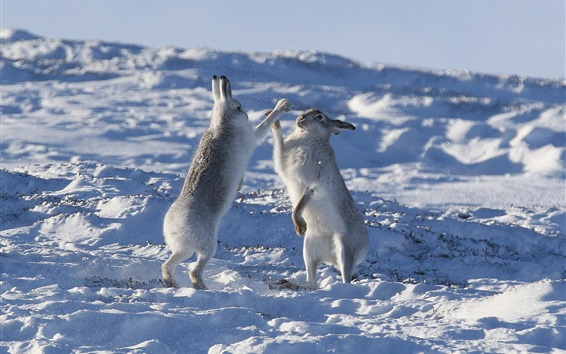 Wallpaper Two rabbits playful in the snow, winter
