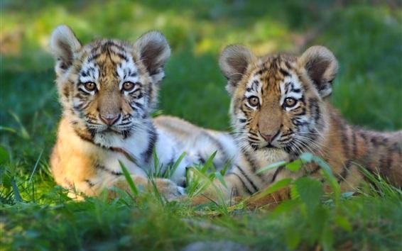 Обои Два тигренка отдыхают в траве