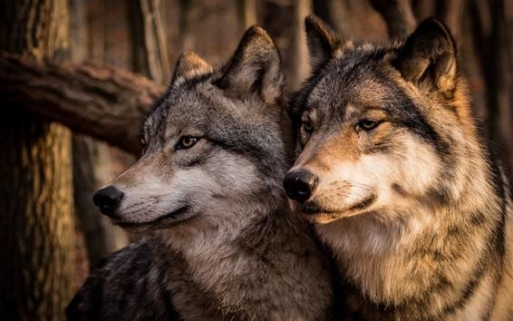 Wallpaper Two wolves, family