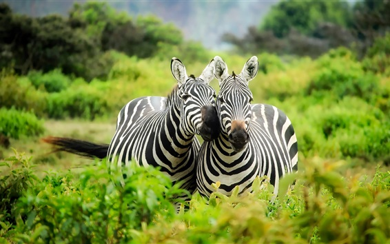 Wallpaper Two zebras, wildlife, Africa