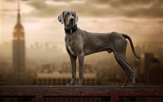 Papéis de Parede O cachorro Weimaraner olha para trás