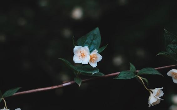 Обои Белое дерево цветов, ветки, листья, темный фон