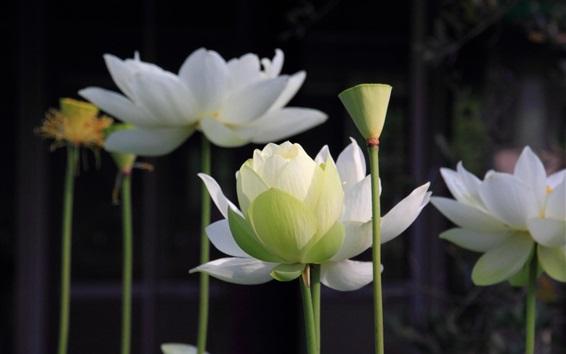 Wallpaper White lotus, stem