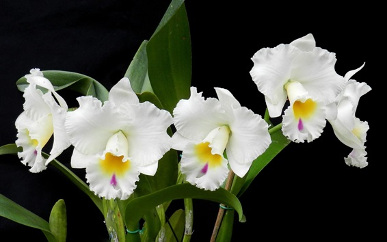 Wallpaper White orchids, flowers photography