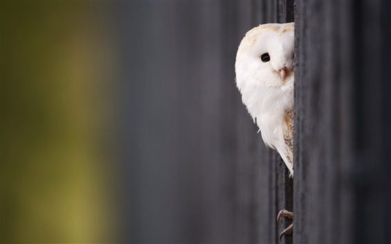 Wallpaper White owl look out