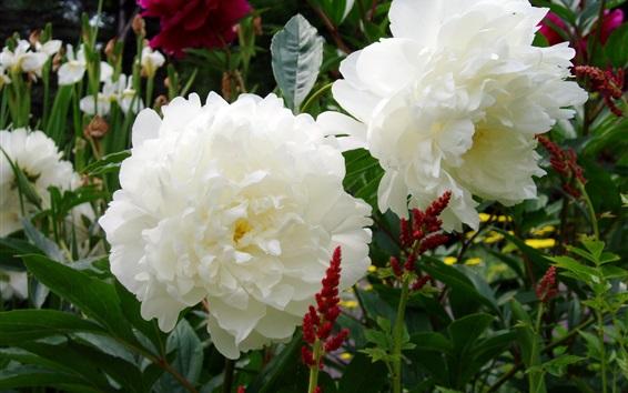 배경 화면 흰 모란 꽃, 정원