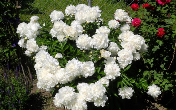 Papéis de Parede Peônias brancas no jardim