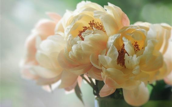 Wallpaper White peonies, petals, macro photography