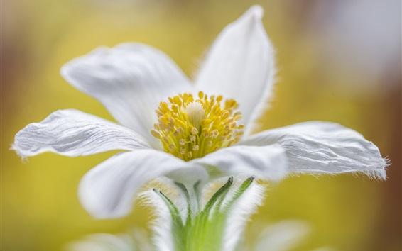 Wallpaper White petals flower macro photography, pistil