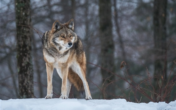 Обои Волк, снег, деревья, зима