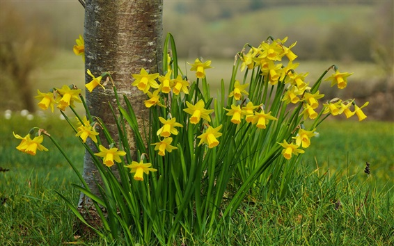Wallpaper Yellow daffodils flowers, tree, grass