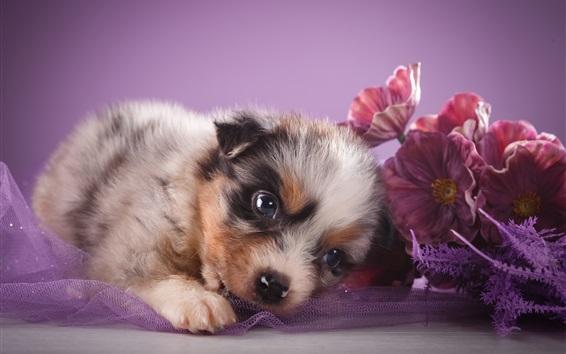 Papéis de Parede Pastor australiano, cachorrinho fofo, flores