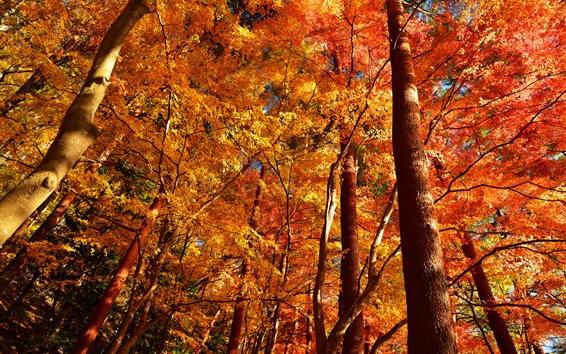 Обои Осень, деревья, лес, красные листья
