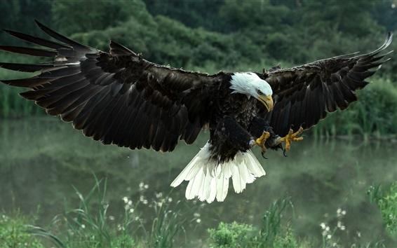 Papéis de Parede Voo de águia-calva, asas, penas, capim