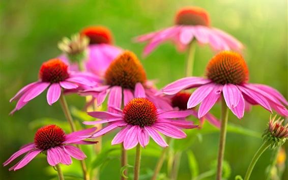 壁紙 美しいピンクのエキナセアの花