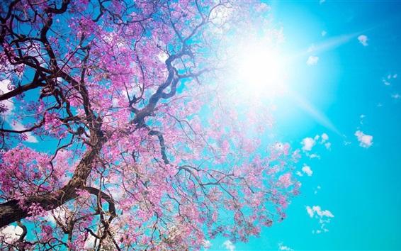 Papéis de Parede Sakura bonita, flores rosa, árvore, primavera, céu azul, sol