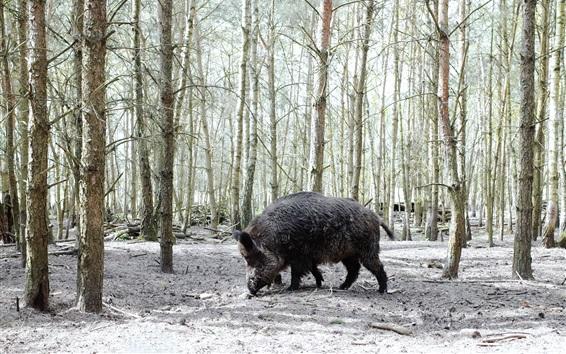 Wallpaper Boar, winter, trees, snow