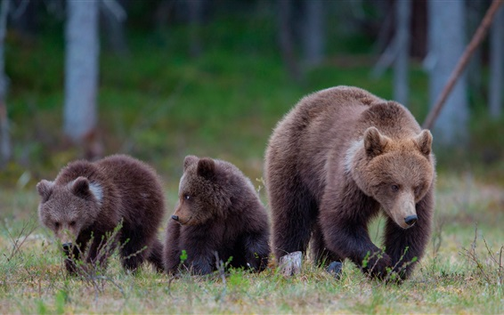 Papéis de Parede Ursos marrons, família, grama, floresta