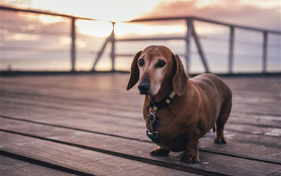 Wallpaper Dachshund, dog, pet