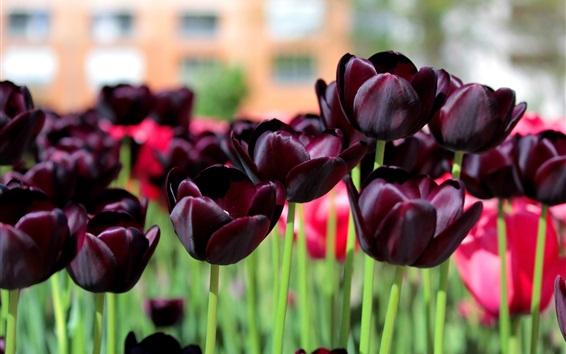 Wallpaper Dark tulips, purple flowers