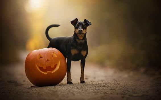 Wallpaper Dog and pumpkin, Halloween