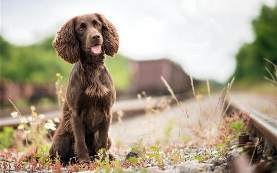 Обои Собака, коричневый, железная дорога, трава