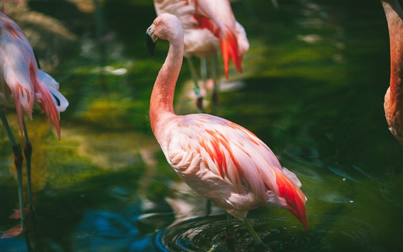 Wallpaper Flamingo, pink feathers, water