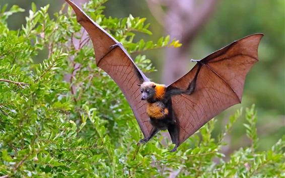 Fond d'écran Chauve-souris volante, ailes, buissons