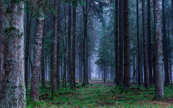Обои Лес, трава, туман, рассвет