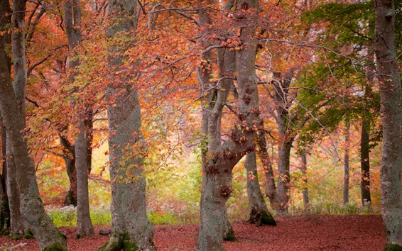 Wallpaper Forest, red leaves, trees, autumn