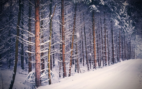 Wallpaper Forest, trees, snow, winter