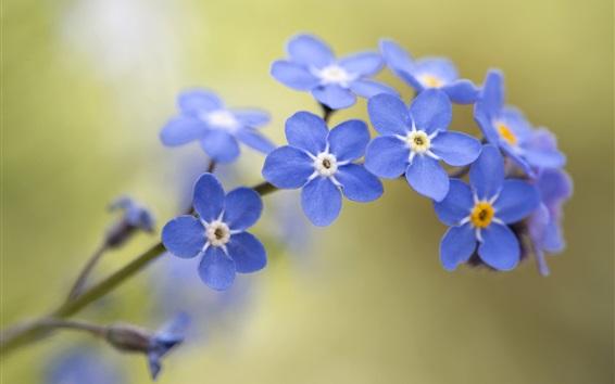 Fondos de pantalla Nomeolvides, flores azules, bokeh