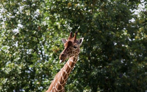 Обои Жираф, язык, забавные животные