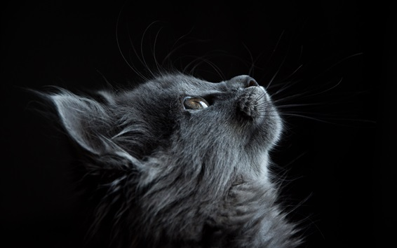 Wallpaper Gray cat look up, black background